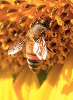 Méhek virágpor pótlása